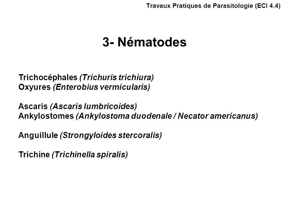 Trichocéphales (Trichuris trichiura) Oxyures (Enterobius vermicularis) Ascaris (Ascaris lumbricoides) Ankylostomes (Ankylostoma duodenale / Necator americanus) Anguillule (Strongyloides stercoralis) Trichine (Trichinella spiralis) Travaux Pratiques de Parasitologie (ECI 4.4) 3- Nématodes