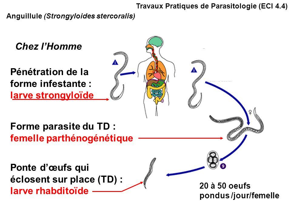 Anguillule (Strongyloides stercoralis) Pénétration de la forme infestante : larve strongyloïde Forme parasite du TD : femelle parthénogénétique Ponte dœufs qui éclosent sur place (TD) : larve rhabditoïde Chez lHomme 20 à 50 oeufs pondus /jour/femelle Travaux Pratiques de Parasitologie (ECI 4.4)