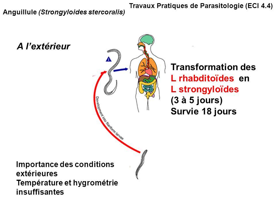 Anguillule (Strongyloides stercoralis) A lextérieur Transformation des L rhabditoïdes en L strongyloïdes (3 à 5 jours) Survie 18 jours Importance des conditions extérieures Température et hygrométrie insuffisantes Travaux Pratiques de Parasitologie (ECI 4.4)