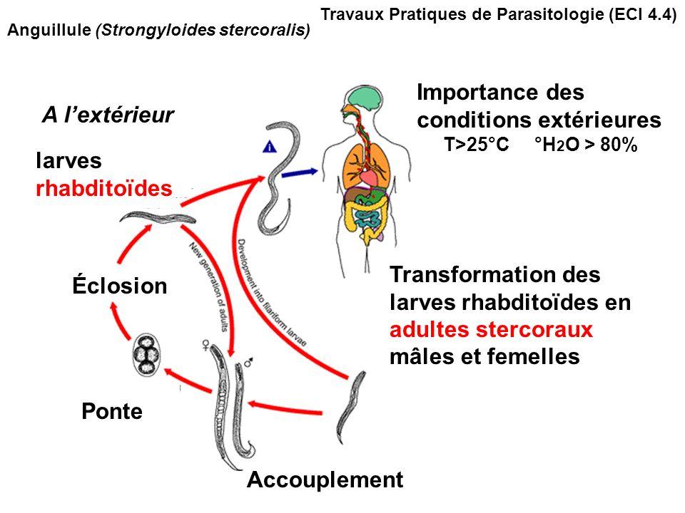 Anguillule (Strongyloides stercoralis) A lextérieur Importance des conditions extérieures T>25°C °H 2 O > 80% Transformation des larves rhabditoïdes en adultes stercoraux mâles et femelles Accouplement Ponte larves rhabditoïdes Éclosion Travaux Pratiques de Parasitologie (ECI 4.4)