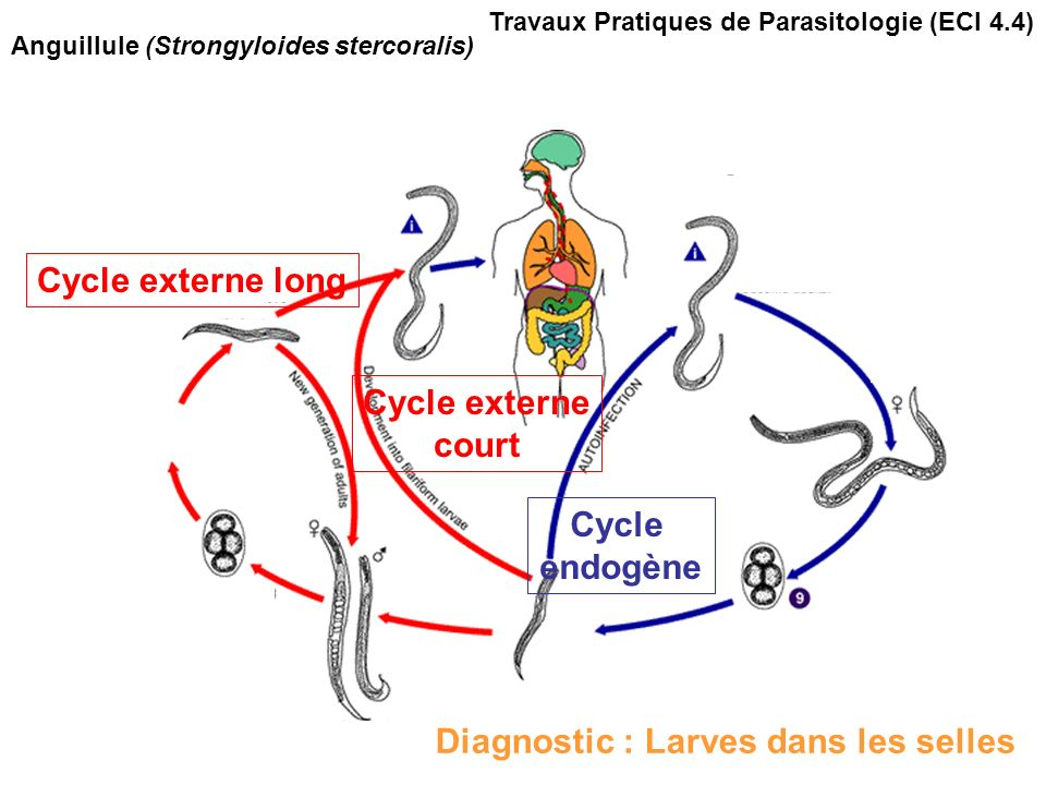 Cycle externe long Cycle externe court Cycle endogène Travaux Pratiques de Parasitologie (ECI 4.4) Anguillule (Strongyloides stercoralis) Diagnostic : Larves dans les selles