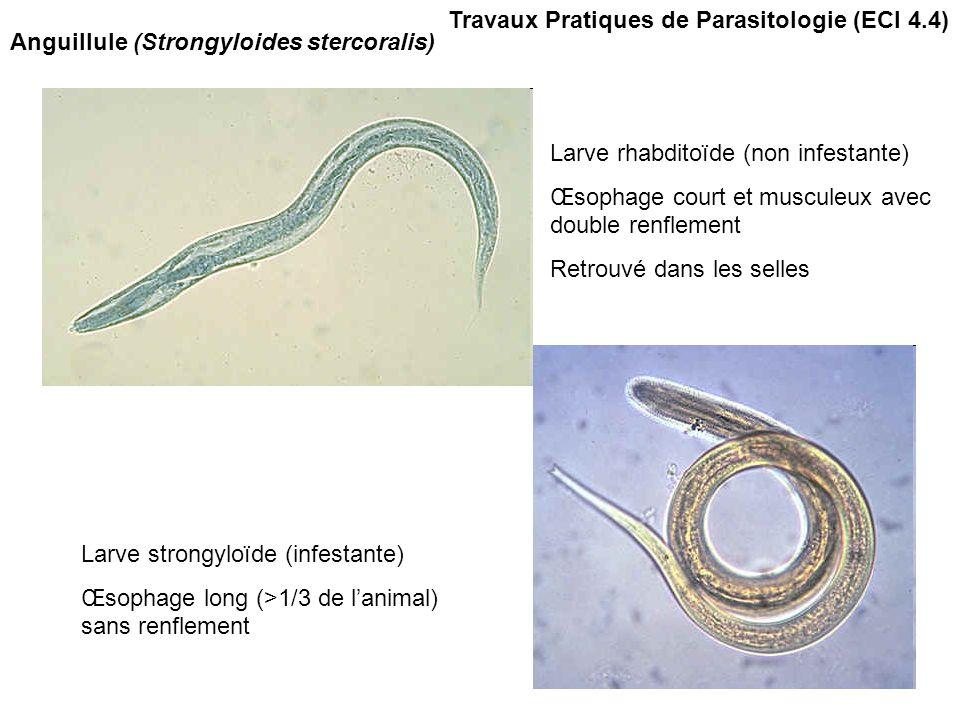 Travaux Pratiques de Parasitologie (ECI 4.4) Anguillule (Strongyloides stercoralis) Larve rhabditoïde (non infestante) Œsophage court et musculeux ave