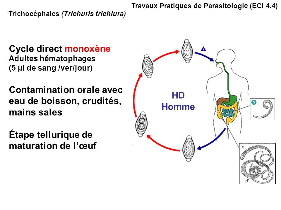 Trichocéphales (Trichuris trichiura) Travaux Pratiques de Parasitologie (ECI 4.4) Cycle direct monoxène Adultes hématophages (5 µl de sang /ver/jour) Contamination orale avec eau de boisson, crudités, mains sales Étape tellurique de maturation de lœuf HD Homme