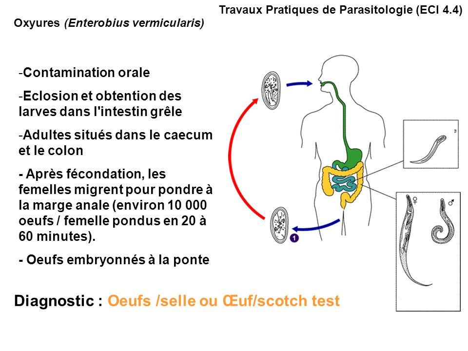 Travaux Pratiques de Parasitologie (ECI 4.4) Adultes : Mâle 5mm Femelle 10mm Oxyures (Enterobius vermicularis)