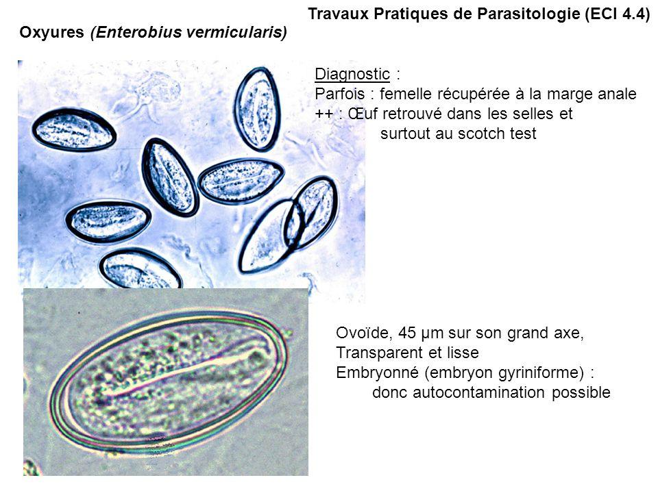 Travaux Pratiques de Parasitologie (ECI 4.4) Oxyures (Enterobius vermicularis) Diagnostic : Parfois : femelle récupérée à la marge anale ++ : Œuf retrouvé dans les selles et surtout au scotch test Ovoïde, 45 µm sur son grand axe, Transparent et lisse Embryonné (embryon gyriniforme) : donc autocontamination possible