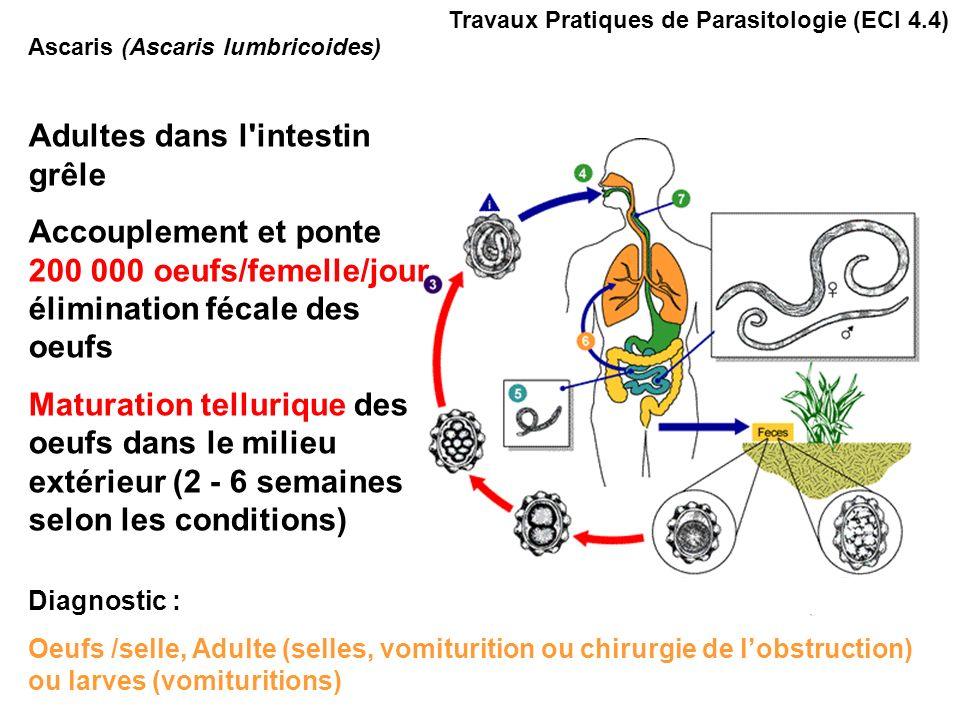 Ascaris (Ascaris lumbricoides) Travaux Pratiques de Parasitologie (ECI 4.4) Œufs : - Sphériques, mamelonnés - Paroi jaune claire à brun acajou, striée concentrique - dimensions: 50-60 µm de diamètre Adultes -Mâle 15 cm, extrémité en crosse -Femelle 18-25 cm Occlusion intestinale provoquée par une pelote dAscaris