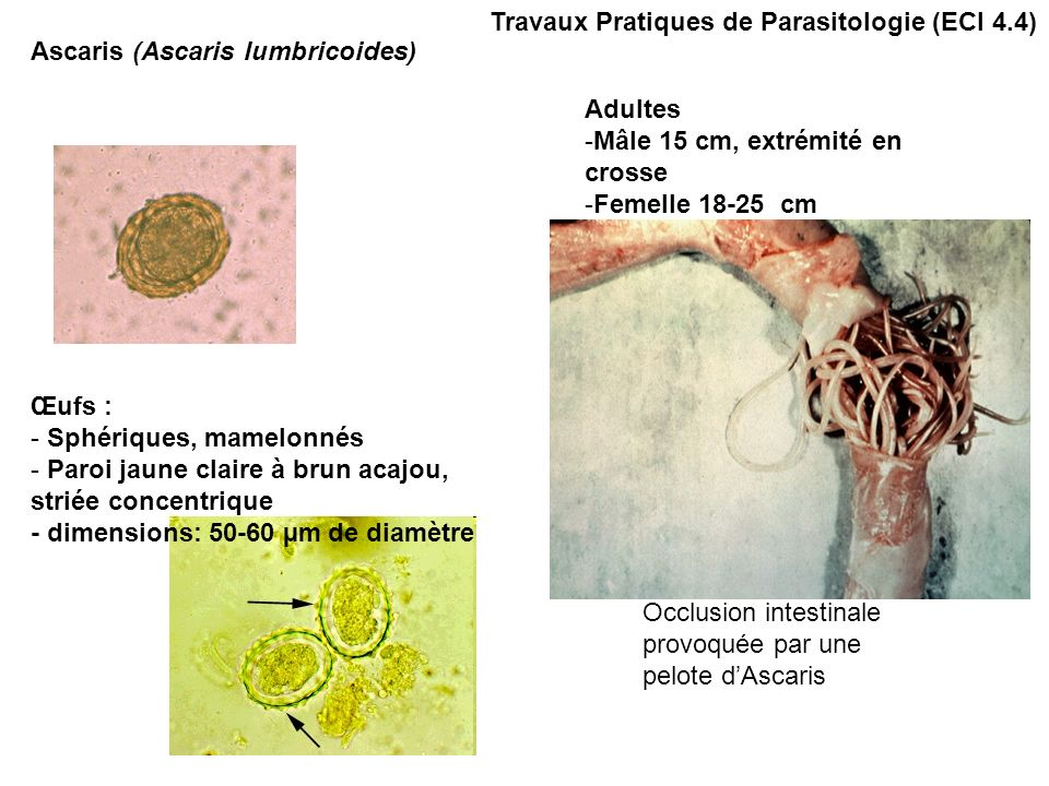 Trichocéphales (Trichuris trichiura): œufs + adultes male et femelle Démo + qq lames Oxyures (Enterobius vermicularis): œufs, adultes males et femelles Ascaris (Ascaris lumbricoides): œufs Ankylostomes: males ou femelles + larves en demo Necator americanus: selles (tubes) Anguillule (Strongyloides stercoralis) démo larve et femelles Trichine (Trichinella spiralis): larve Travaux Pratiques de Parasitologie (ECI 4.4) Observations Nématodes