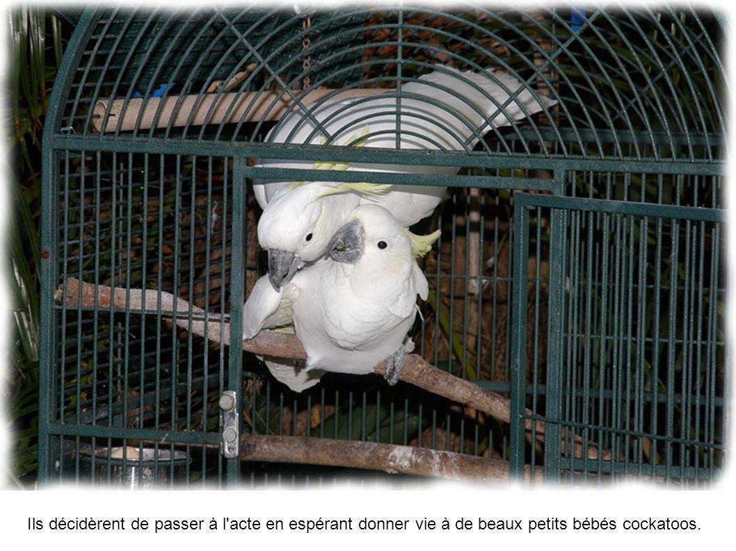 Ils décidèrent de passer à l'acte en espérant donner vie à de beaux petits bébés cockatoos.