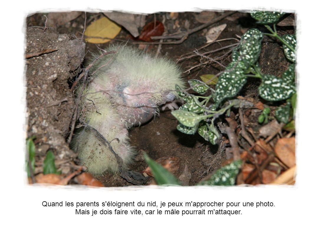 Quand les parents s'éloignent du nid, je peux m'approcher pour une photo. Mais je dois faire vite, car le mâle pourrait m'attaquer.