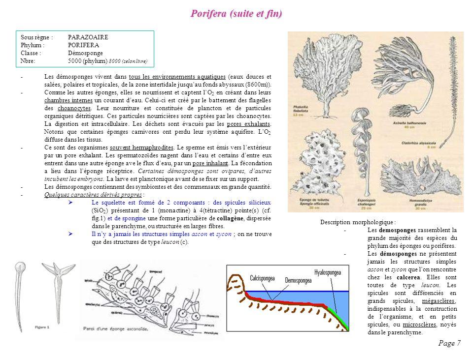 Description morphologique : demosponges -Les demosponges rassemblent la grande majorité des espèces du phylum des éponges ou porifères. démosponges ca