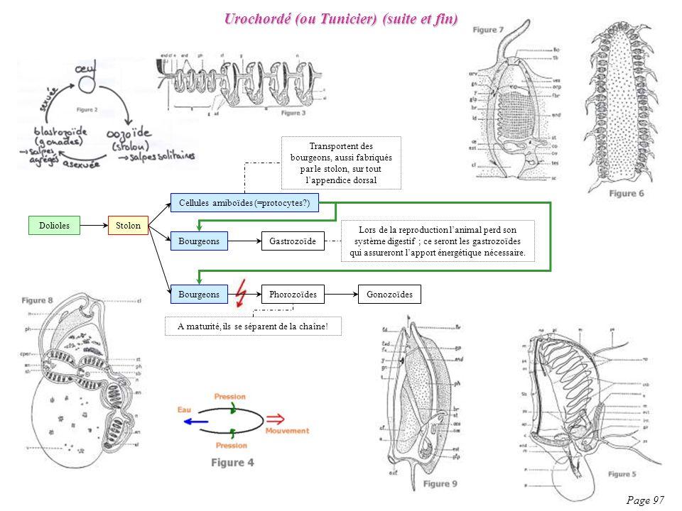 Urochordé (ou Tunicier) (suite et fin) Page 97 Stolon Cellules amiboïdes (=protocytes?) Bourgeons Gastrozoïde PhorozoïdesGonozoïdes Transportent des b