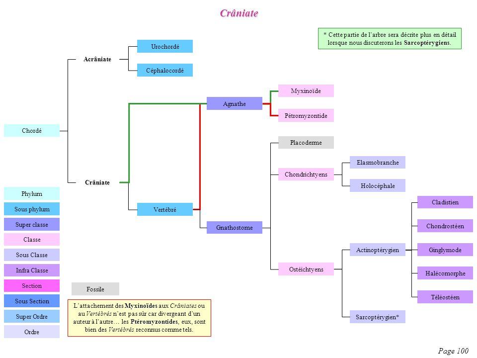 Crâniate Page 100 Chordé Céphalocordé Urochordé Vertébré Agnathe Gnathostome Chondrichtyens Ostéichtyens Infra Classe Section Classe Sous Classe Sous