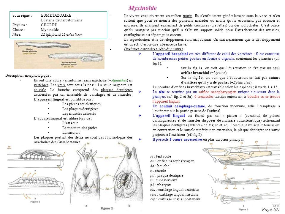 Description morphologique : sans mâchoire Agnathes ni vertèbres appareil lingual -Ils ont une allure vermiforme, sans mâchoire (=Agnathes) ni vertèbre