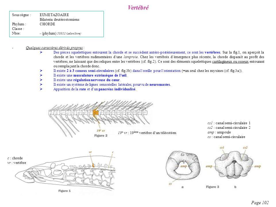 -Quelques caractères dérivés propres : vertèbres Des pièces squelettiques entourent la chorde et se succèdent antéro-postérieurement, ce sont les vert