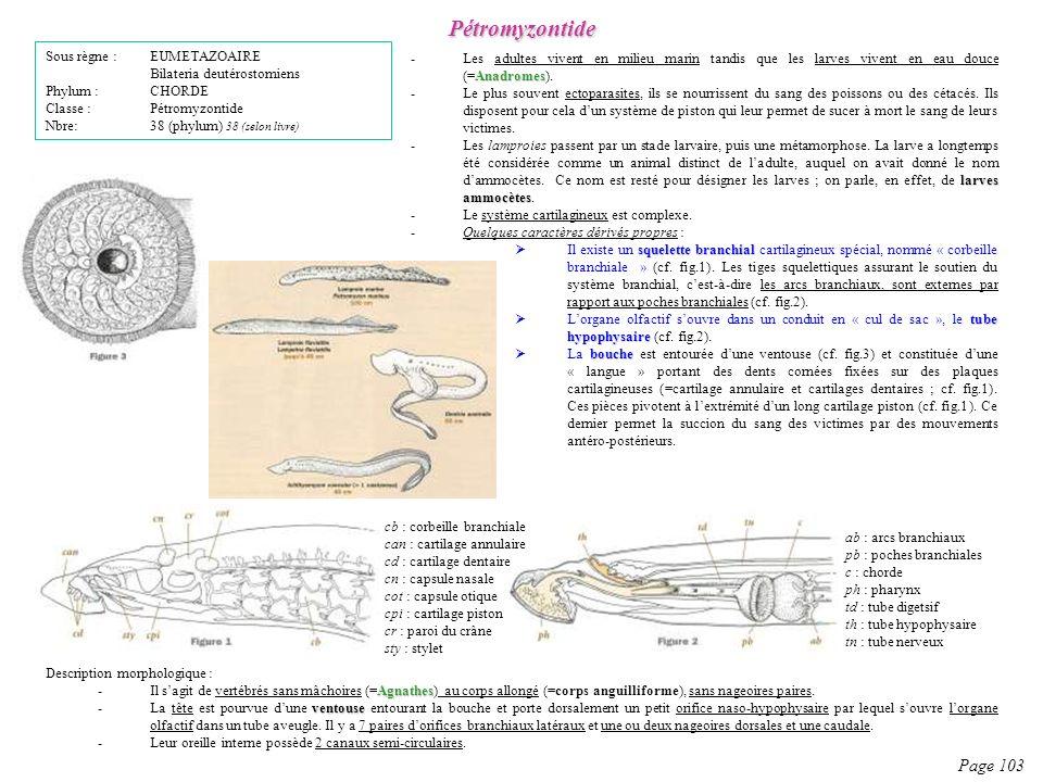 Description morphologique : Agnathes -Il sagit de vertébrés sans mâchoires (=Agnathes) au corps allongé (=corps anguilliforme), sans nageoires paires.