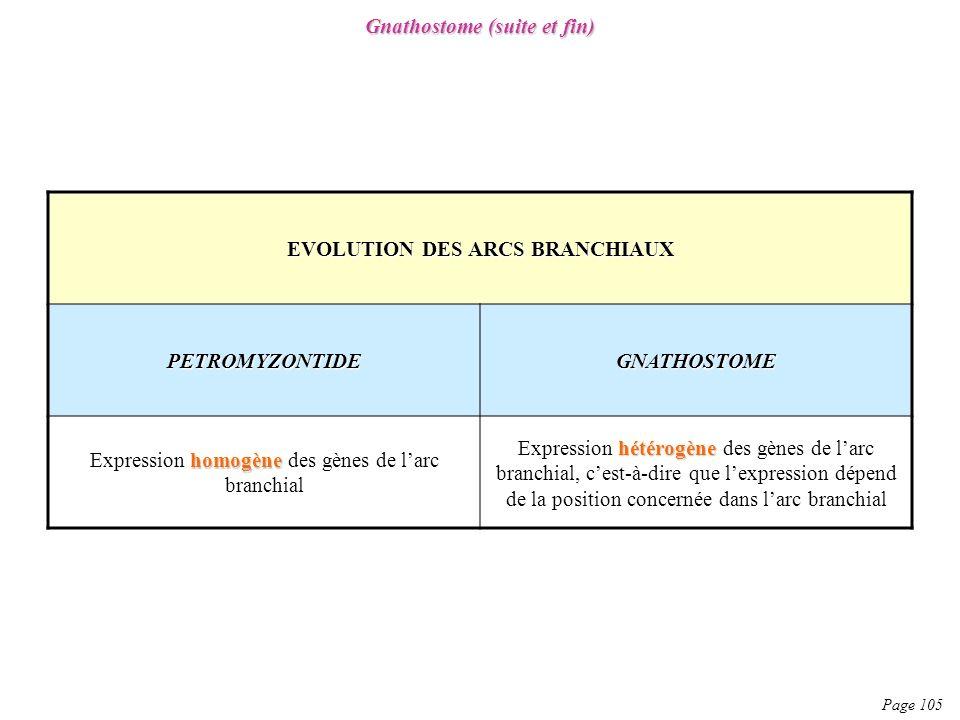 Page 105 Gnathostome (suite et fin) EVOLUTION DES ARCS BRANCHIAUX PETROMYZONTIDEGNATHOSTOME homogène Expression homogène des gènes de larc branchial h