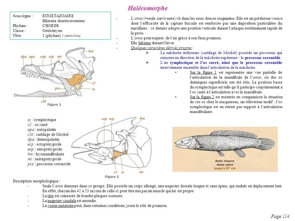 Description morphologique : -Seule lamie demeure dans ce groupe. Elle possède un corps allongé, une nageoire dorsale longue et sans épine, qui ondule