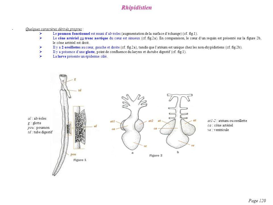 -Quelques caractères dérivés propres : poumon fonctionnel Le poumon fonctionnel est muni dalvéoles (augmentation de la surface déchange) (cf. fig.1).