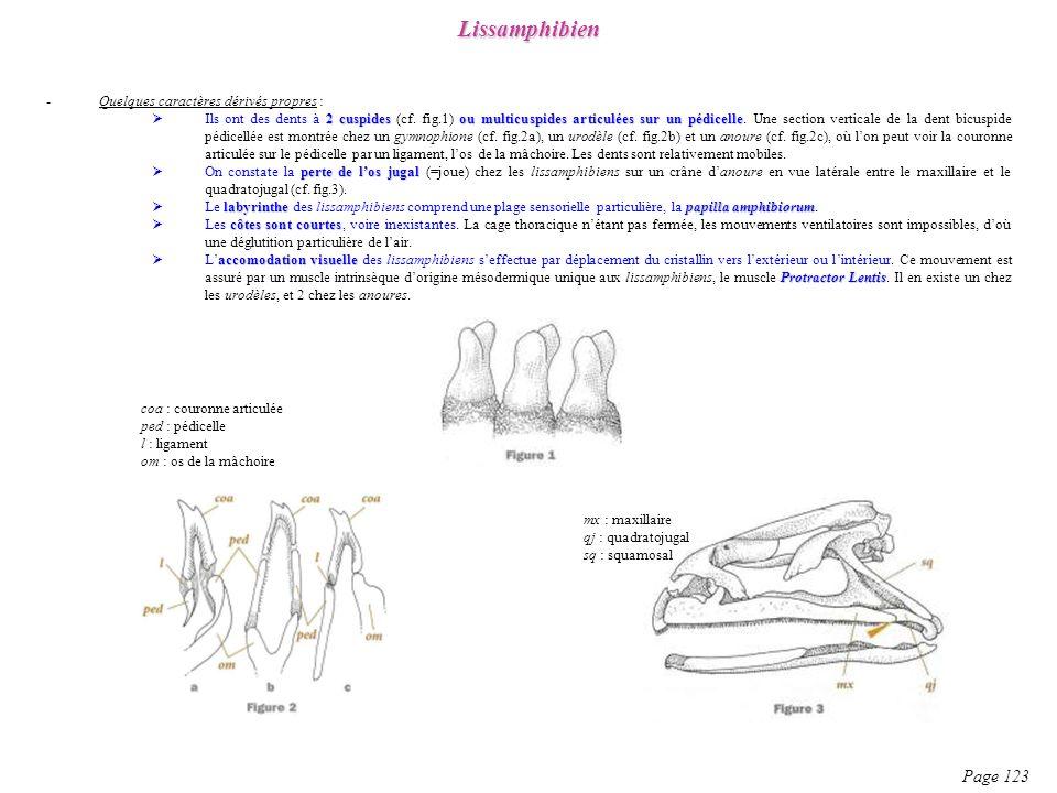 -Quelques caractères dérivés propres : 2 cuspidesou multicuspides articulées sur un pédicelle Ils ont des dents à 2 cuspides (cf. fig.1) ou multicuspi