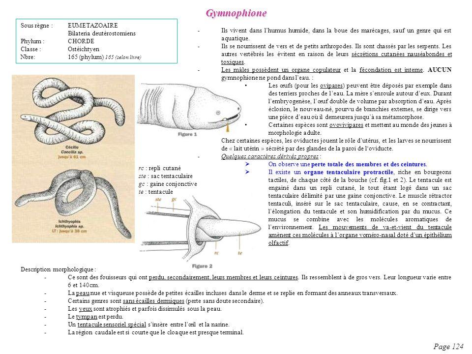 Description morphologique : -Ce sont des fouisseurs qui ont perdu, secondairement, leurs membres et leurs ceintures. Ils ressemblent à de gros vers. L