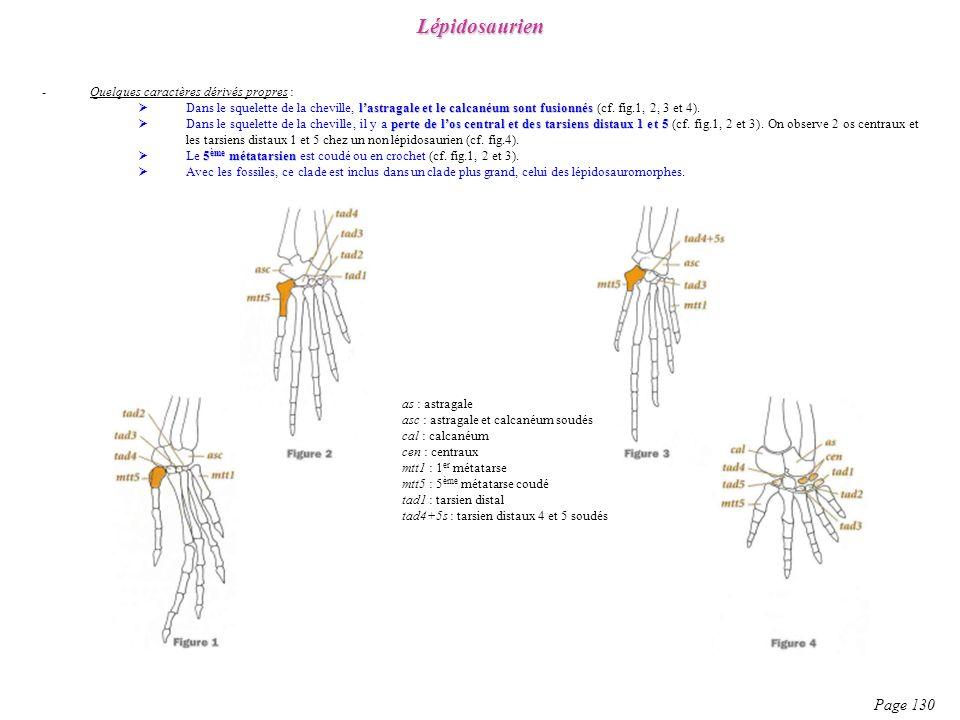 -Quelques caractères dérivés propres : lastragale et le calcanéum sont fusionnés Dans le squelette de la cheville, lastragale et le calcanéum sont fus