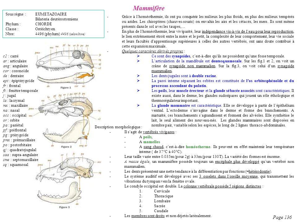 Description morphologique : -Il sagit de vertébrés vivipares : poils -A poils, mamelles -A mamelles homéotherme -A sang chaud, cest-à-dire homéotherme