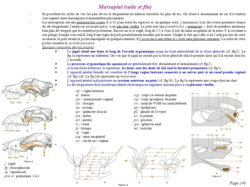 Page 140 Marsupial (suite et fin) -Ils possèdent les styles de vies les plus divers et fréquentent les milieux terrestres les plus divers. On observe