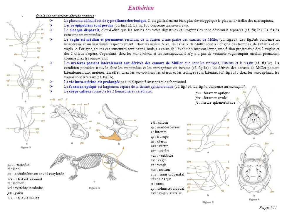 -Quelques caractères dérivés propres : allantochorionique Le placenta définitif est de type allantochorionique. Il est généralement bien plus développ
