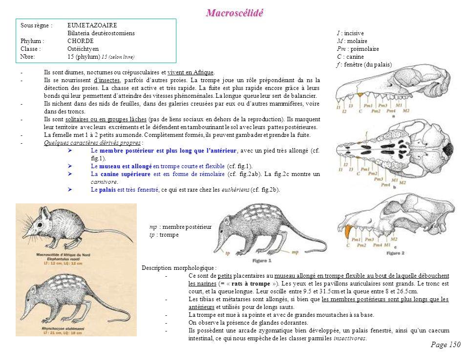Description morphologique : rats à trompe -Ce sont de petits placentaires au museau allongé en trompe flexible au bout de laquelle débouchent les nari