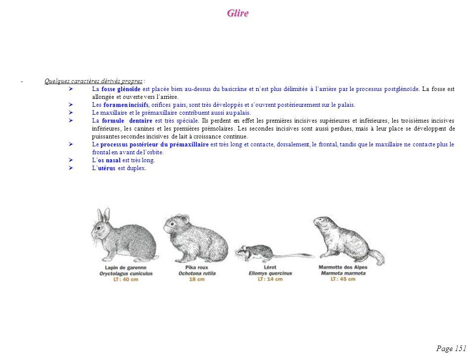 -Quelques caractères dérivés propres : fosse glénoïde La fosse glénoïde est placée bien au-dessus du basicrâne et nest plus délimitée à larrière par l