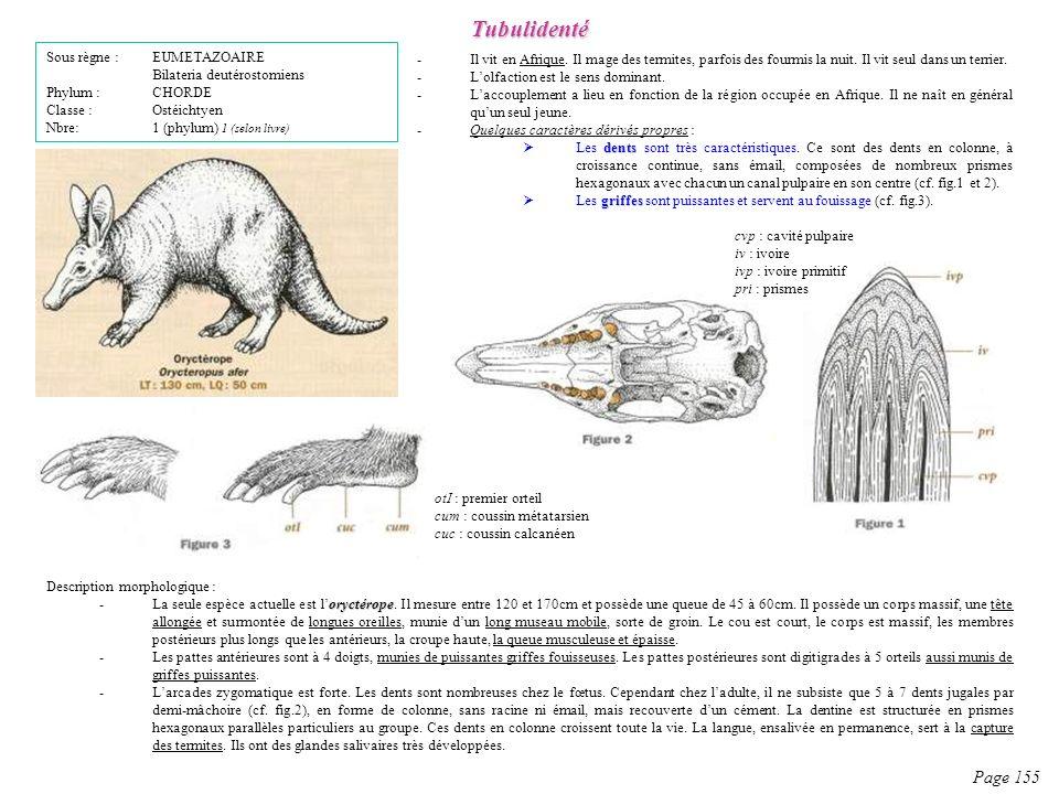 Description morphologique : oryctérope -La seule espèce actuelle est loryctérope. Il mesure entre 120 et 170cm et possède une queue de 45 à 60cm. Il p