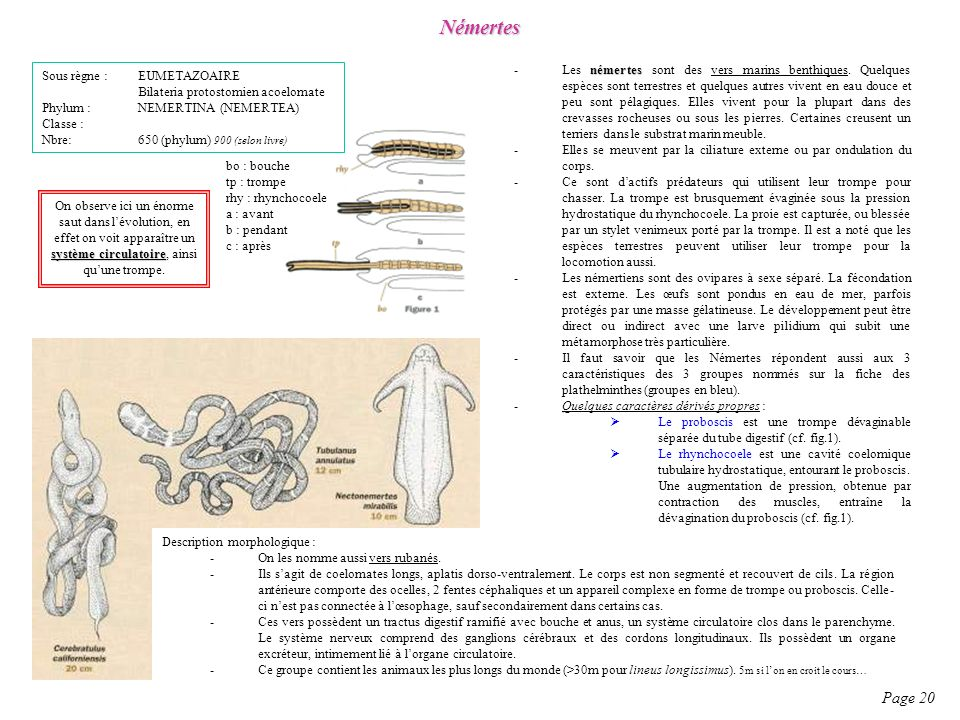 Némertes Page 20 Sous règne : EUMETAZOAIRE Bilateria protostomien acoelomate Phylum : NEMERTINA (NEMERTEA) Classe : Nbre: 650 (phylum) 900 (selon livr