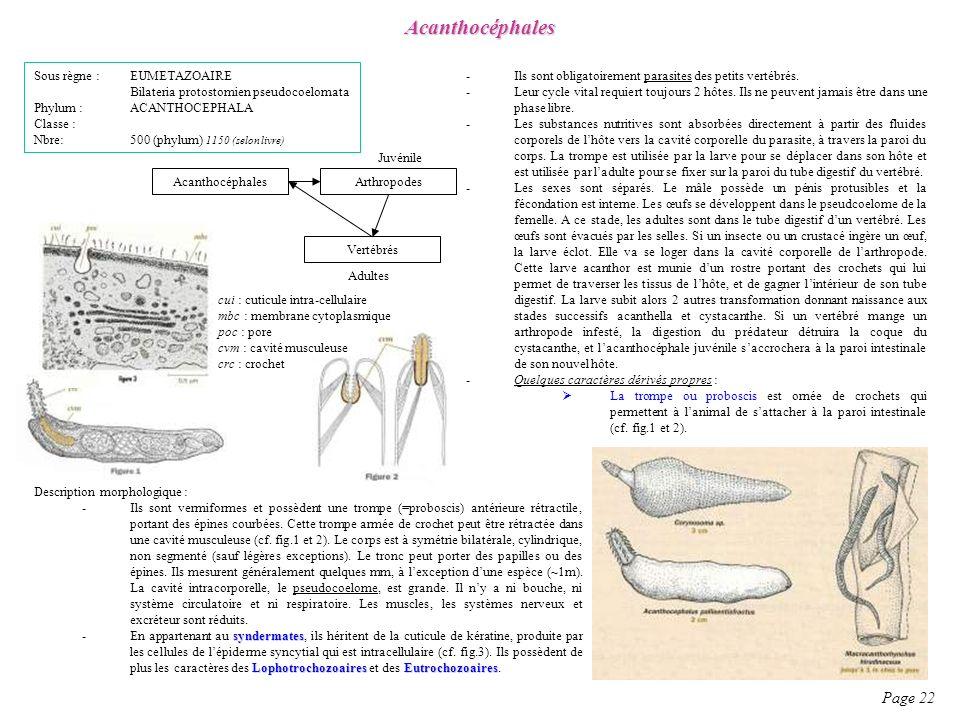 Description morphologique : -Ils sont vermiformes et possèdent une trompe (=proboscis) antérieure rétractile, portant des épines courbées. Cette tromp