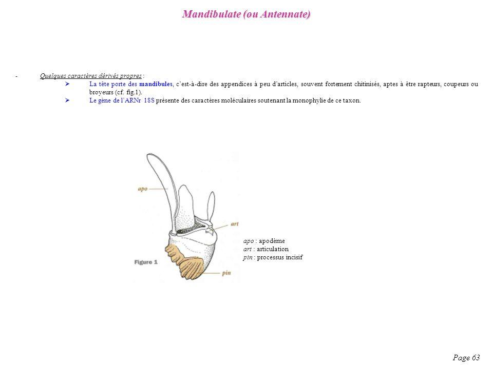 -Quelques caractères dérivés propres : La tête porte des mandibules, cest-à-dire des appendices à peu darticles, souvent fortement chitinisés, aptes à