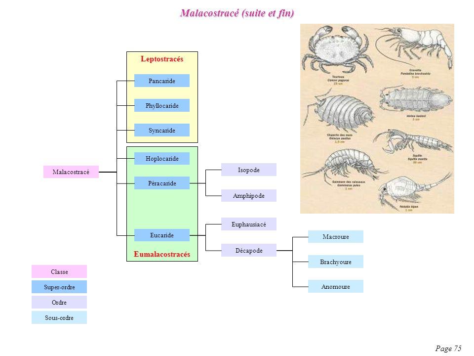 Malacostracé (suite et fin) Page 75 Malacostracé Classe Ordre Super-ordre Syncaride Hoplocaride Pancaride Péracaride Phyllocaride Eucaride Amphipode E