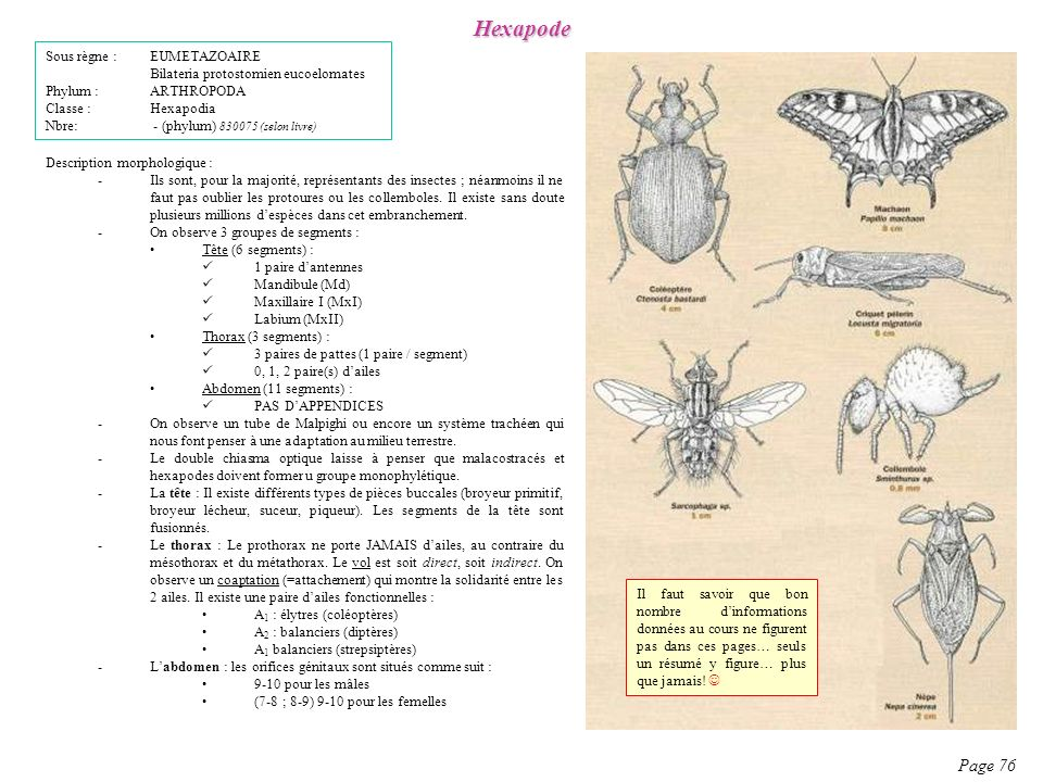 Description morphologique : -Ils sont, pour la majorité, représentants des insectes ; néanmoins il ne faut pas oublier les protoures ou les collembole