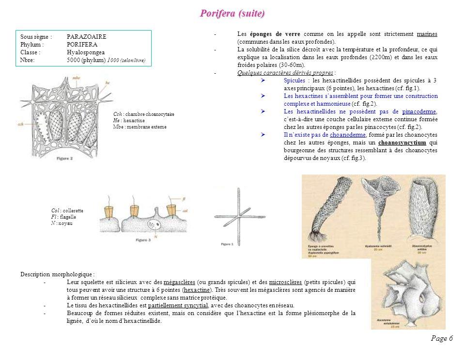 Porifera (suite) Page 6 Sous règne : PARAZOAIRE Phylum : PORIFERA Classe : Hyalospongea Nbre: 5000 (phylum) 1 000 (selon livre) éponges de verre -Les