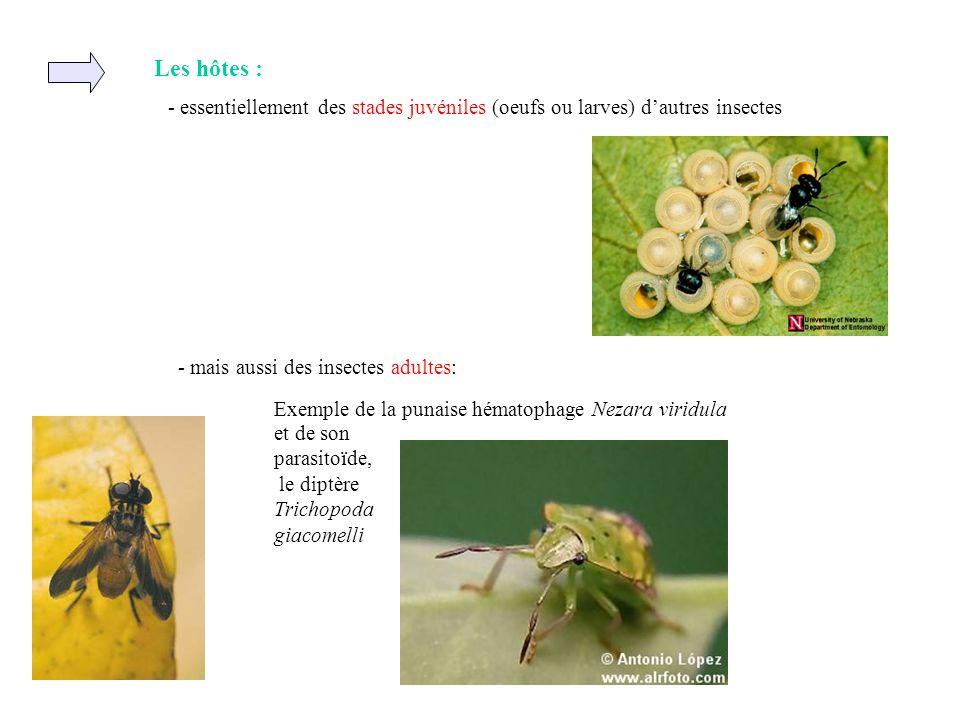 Les hôtes : - essentiellement des stades juvéniles (oeufs ou larves) dautres insectes Exemple de la punaise hématophage Nezara viridula et de son para