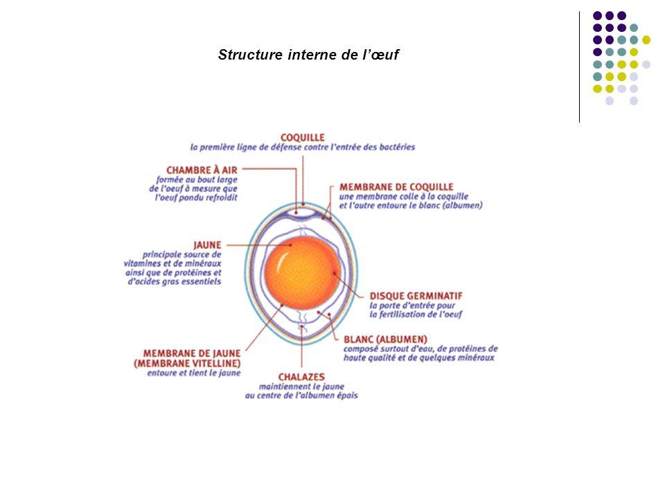 Structure interne de lœuf