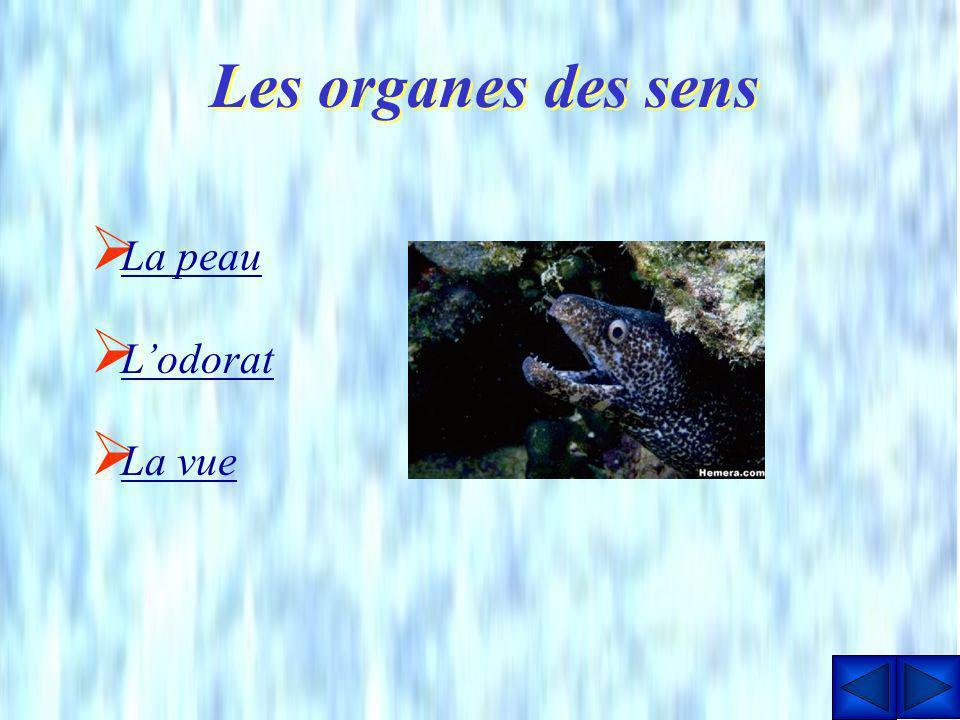 Nageoires pectorales Durant leur croissance, les deux nageoires pectorales des anguilles se transforment très rapidement. Elles sont dabord petites et