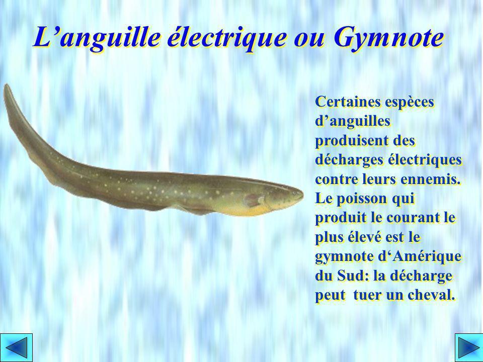 Les Gymnotidés ont un corps serpentiforme. Le gymnote dAmérique du Sud peut envoyer une décharge de 600 volts; bien que ce soit sous 1 ampère au maxim