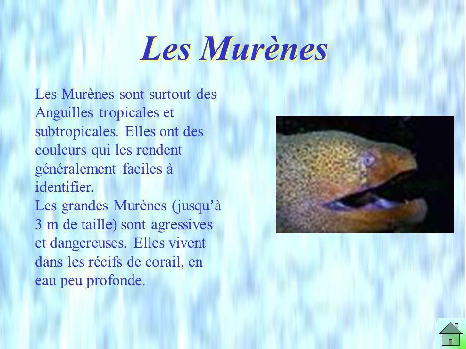NOM: Anguilla anguilla FAMILLE: Anguillidés ORDRE: Anguilliformes TAILLE: Mâles: de 35 à 45 cm femelles: 50 à 80 cm, certaines atteignant 120 cm pour