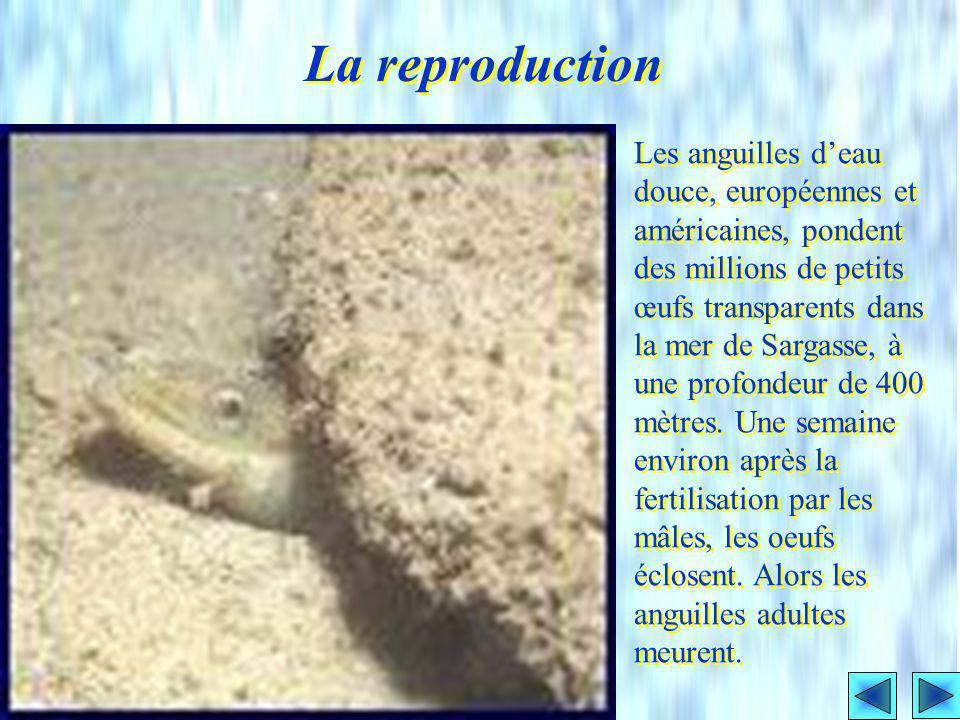 Les Murènes sont surtout des Anguilles tropicales et subtropicales. Elles ont des couleurs qui les rendent généralement faciles à identifier. Les gran