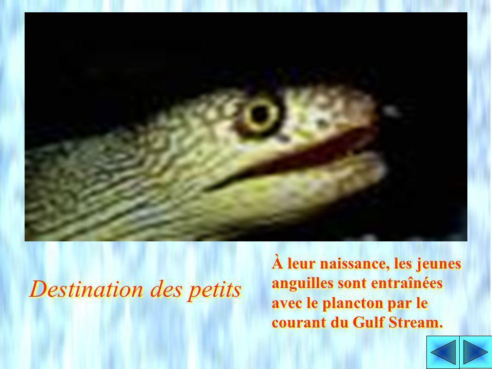 Les anguilles deau douce, européennes et américaines, pondent des millions de petits œufs transparents dans la mer de Sargasse, à une profondeur de 40