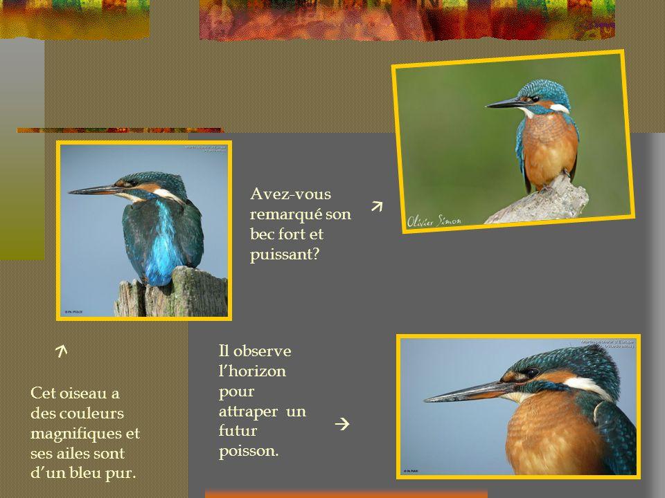 Cet oiseau a des couleurs magnifiques et ses ailes sont dun bleu pur. Il observe lhorizon pour attraper un futur poisson. Avez-vous remarqué son bec f