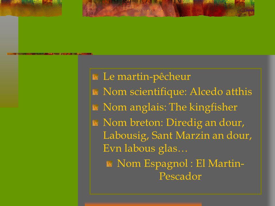Le martin-pêcheur Nom scientifique: Alcedo atthis Nom anglais: The kingfisher Nom breton: Diredig an dour, Labousig, Sant Marzin an dour, Evn labous g