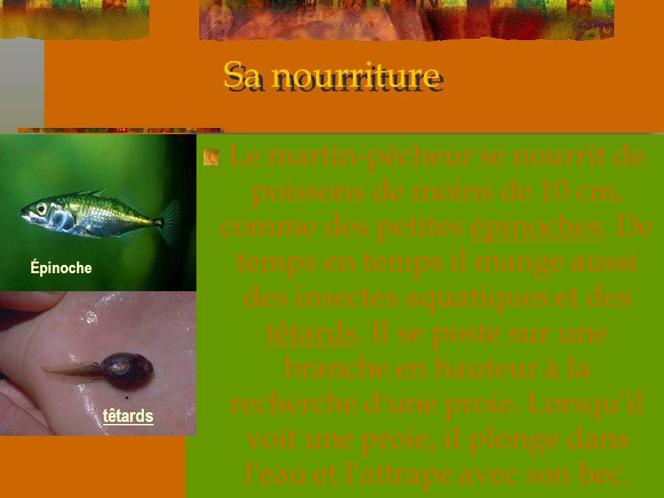 Sa nourriture Le martin-pêcheur se nourrit de poissons de moins de 10 cm, comme des petites épinoches. De temps en temps il mange aussi des insectes a