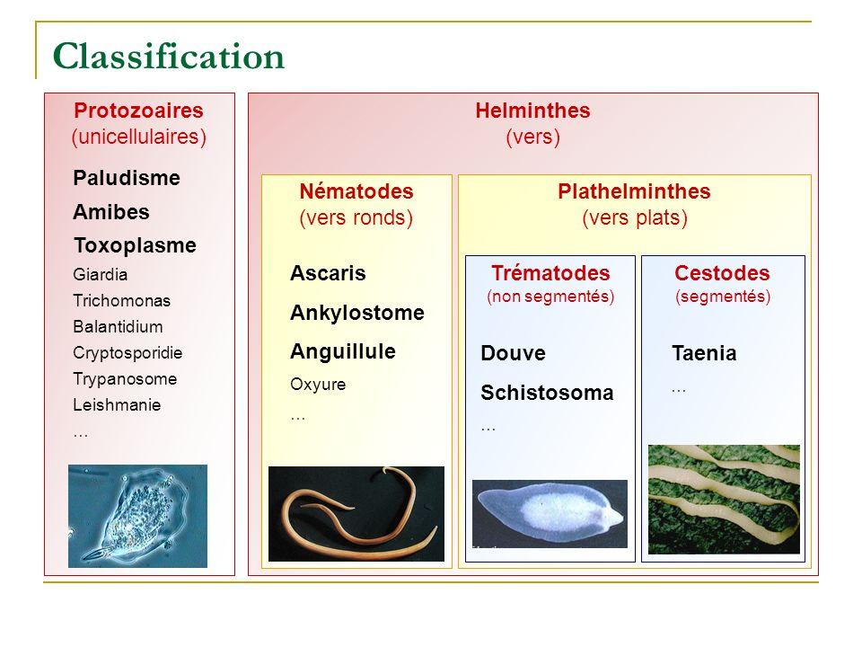 Taeniases Taenia Vers plat de 2 à 10 m de long Scolex fixé à la paroi digestive Anneaux dont les plus distaux contiennent les œufs 2 espèces T.