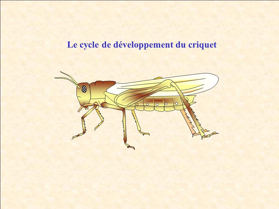 Le cycle de développement du criquet