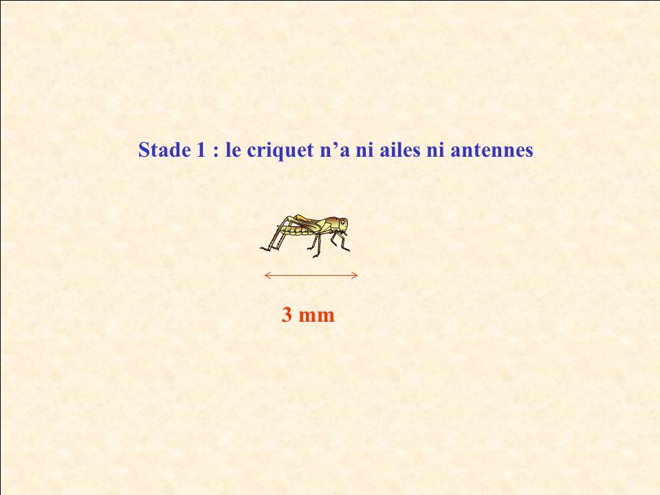 Stade 1 : le criquet na ni ailes ni antennes 3 mm
